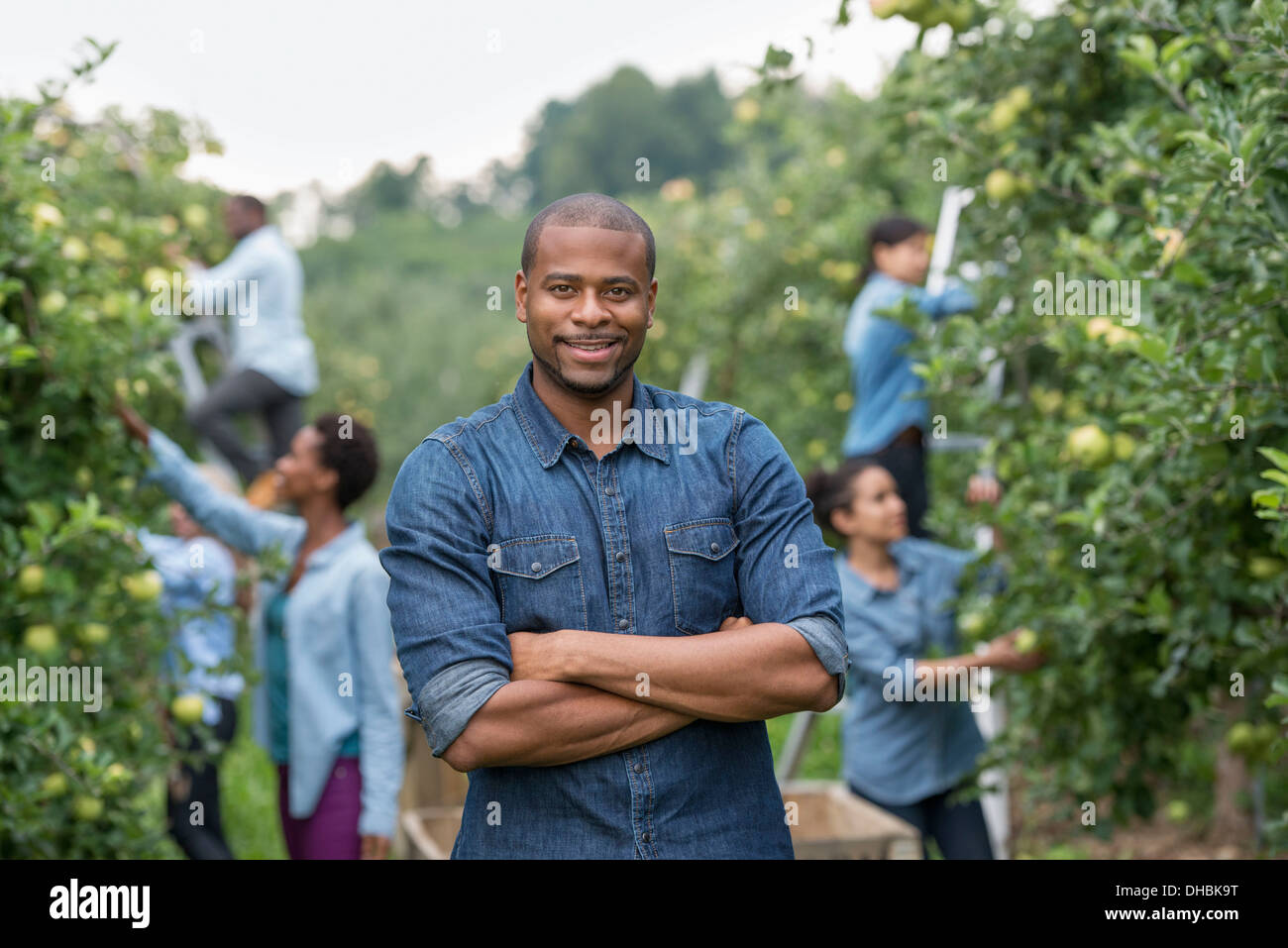 An organic orchard on a farm. A group of people picking green apples from the trees. - Stock Image