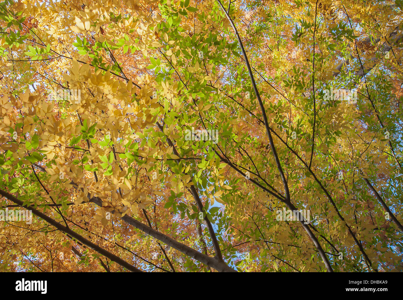 Japanese Lilac tree, Zelkova serrrata, viewed from underneath looking up at the canopy of backlit leaves turning orange. - Stock Image