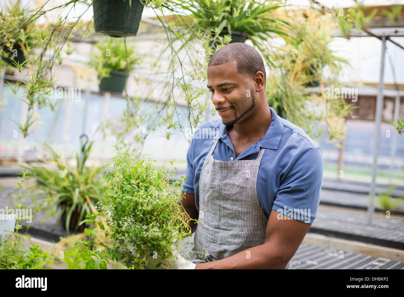 Working on an organic farm. A man tending young plants in a glass house. - Stock Image