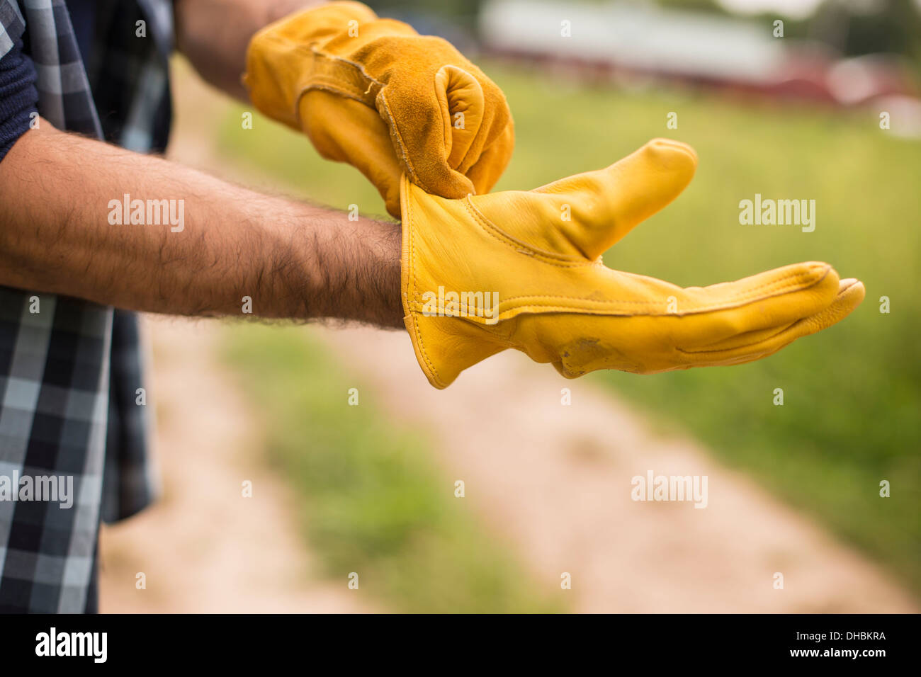 Working on an organic farm. A man putting thick yellow leather work gloves on. - Stock Image