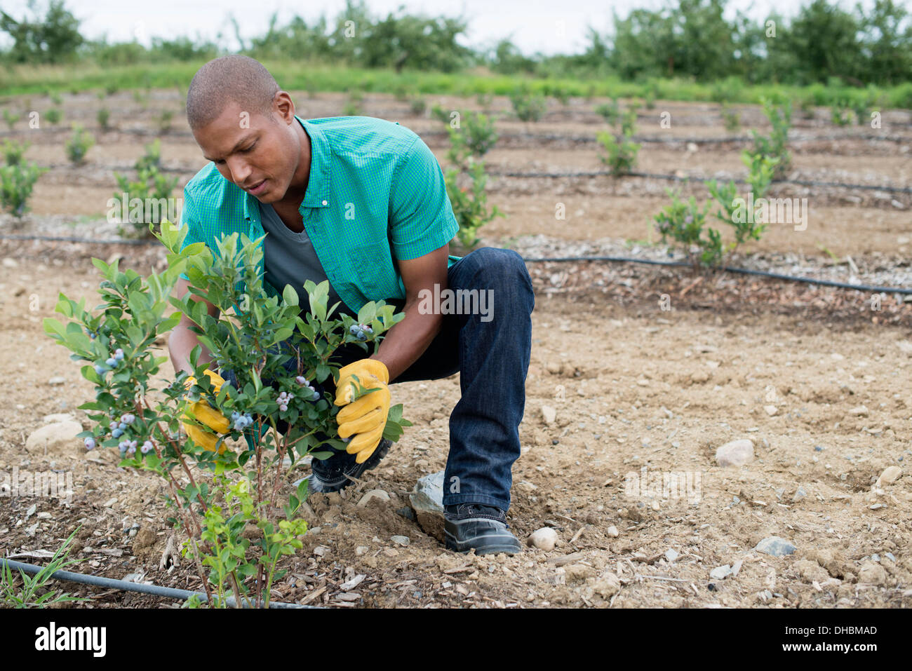 Organic fruit orchard. A man examining a row of blueberry shrubs. - Stock Image