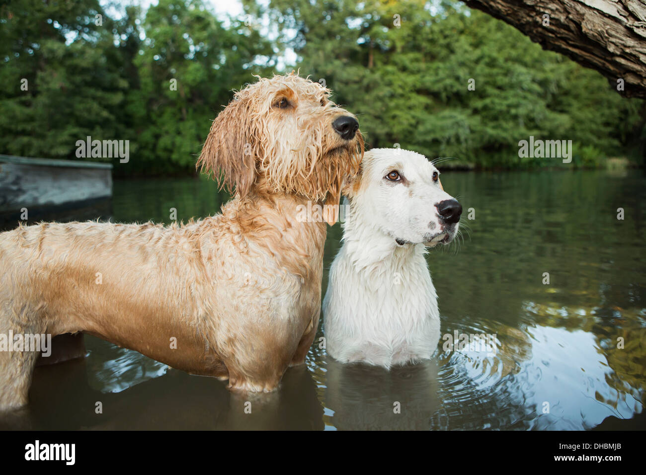 Labradoodle Stock Photos Labradoodle Stock Images Alamy