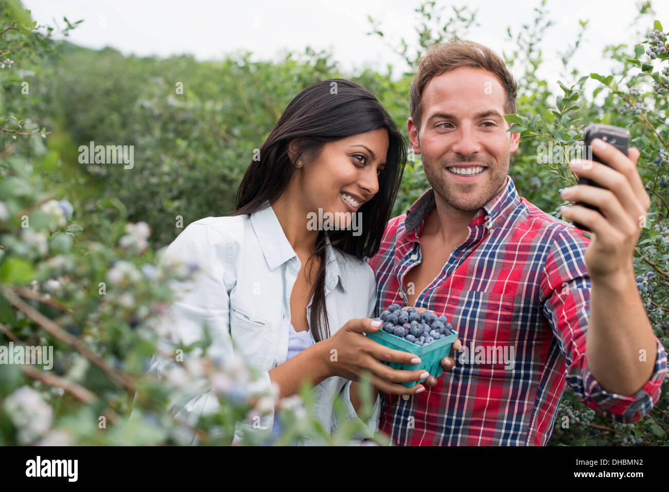 Blueberry plants bearing fruit. Two people among the bushes, taking a selfy with a smart phone. - Stock Image