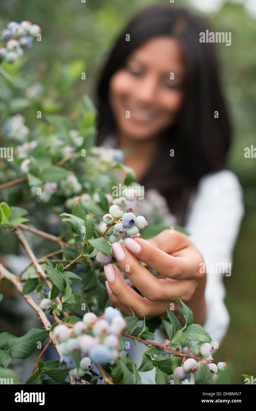 Organic fruit orchard. A woman picked fresh blueberries, Cyanococcus. - Stock Image