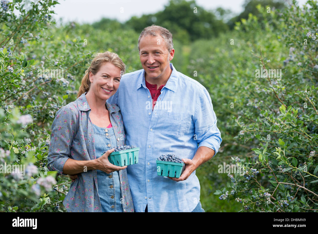 An organic fruit farm. A mature couple picking the berry fruits from the bushes. - Stock Image