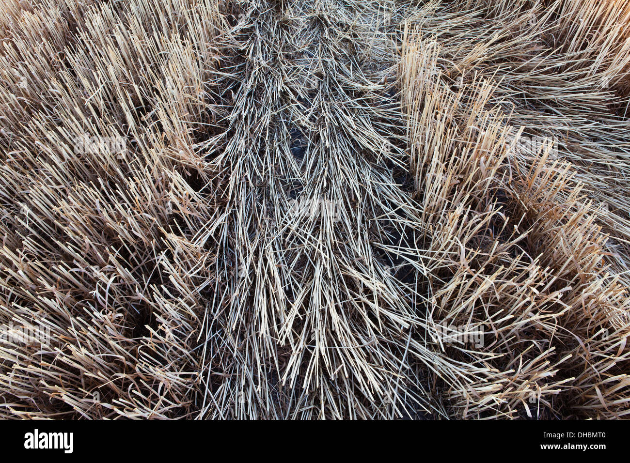 A wheatfield, stubble after the harvesting has been finished. - Stock Image