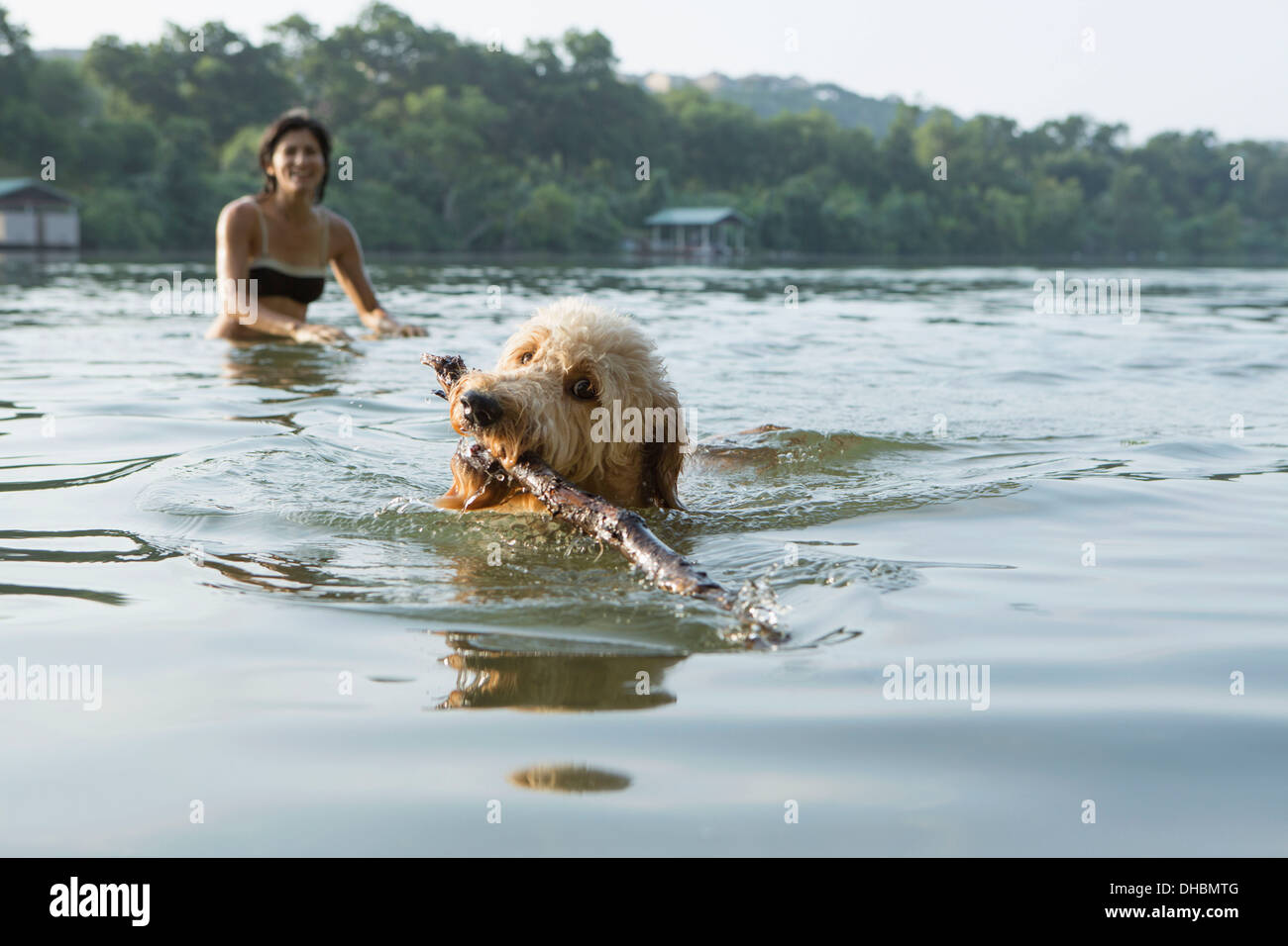 A labradoodle dog swimming with a stick in her mouth. A woman in the background. - Stock Image