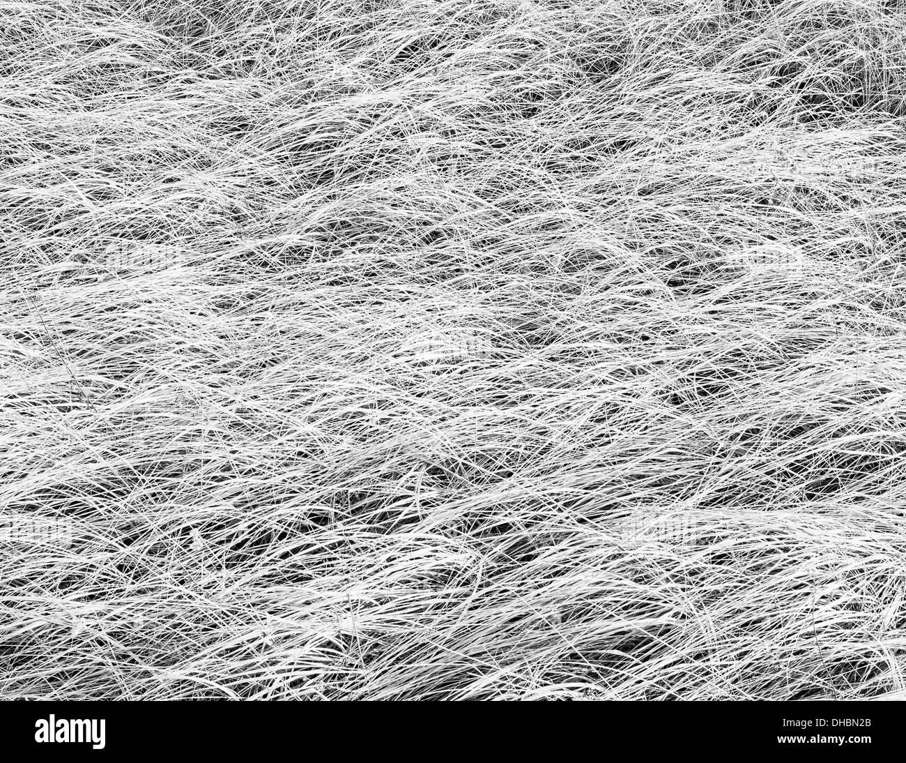 Dense sea grasses on the shore at Long Beach Peninsula, near Oysterville, Washington. - Stock Image