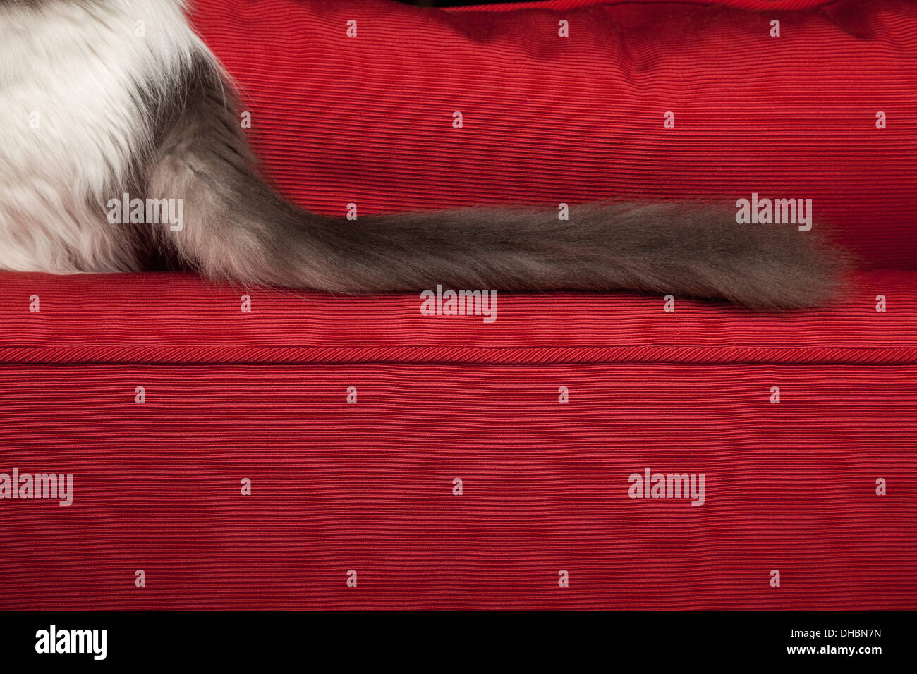 A kitten on a red sofa, view of its long fluffy black tail. - Stock Image