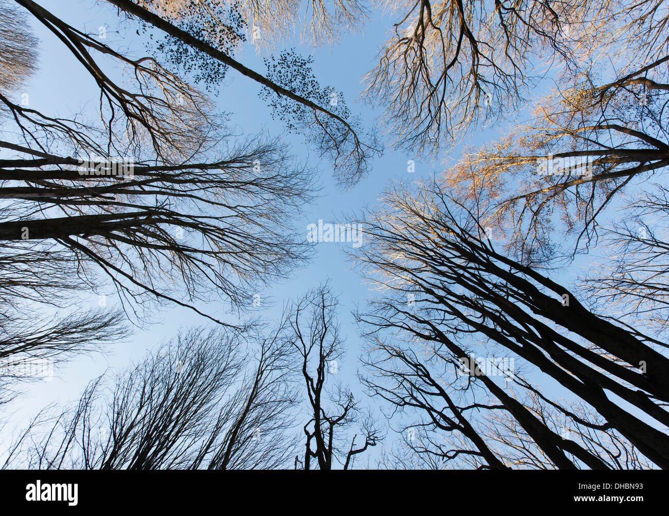 Low angle view of forest canopy and sky, Seattle Stock Photo