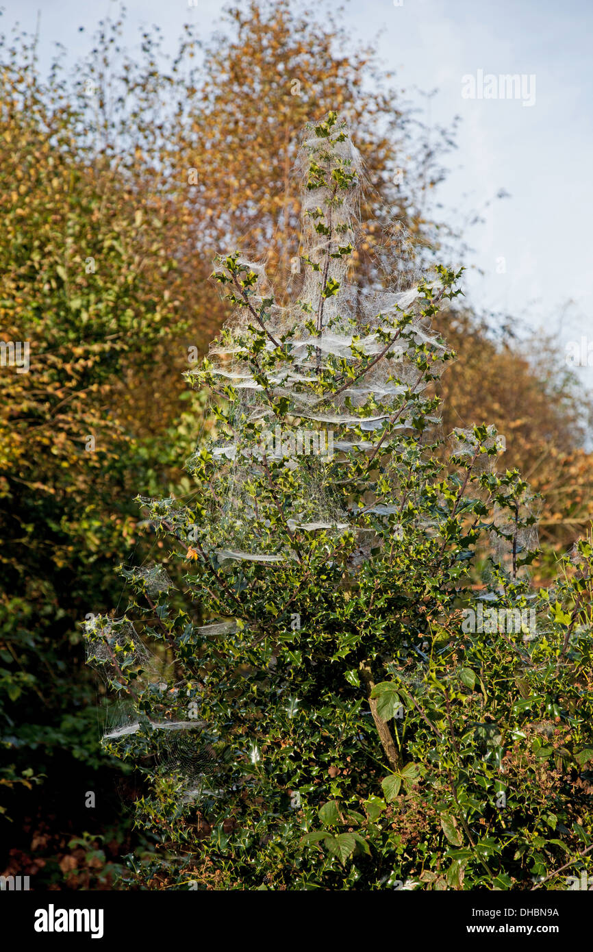 Spiders webs in a bush or tree in late autumn - Stock Image
