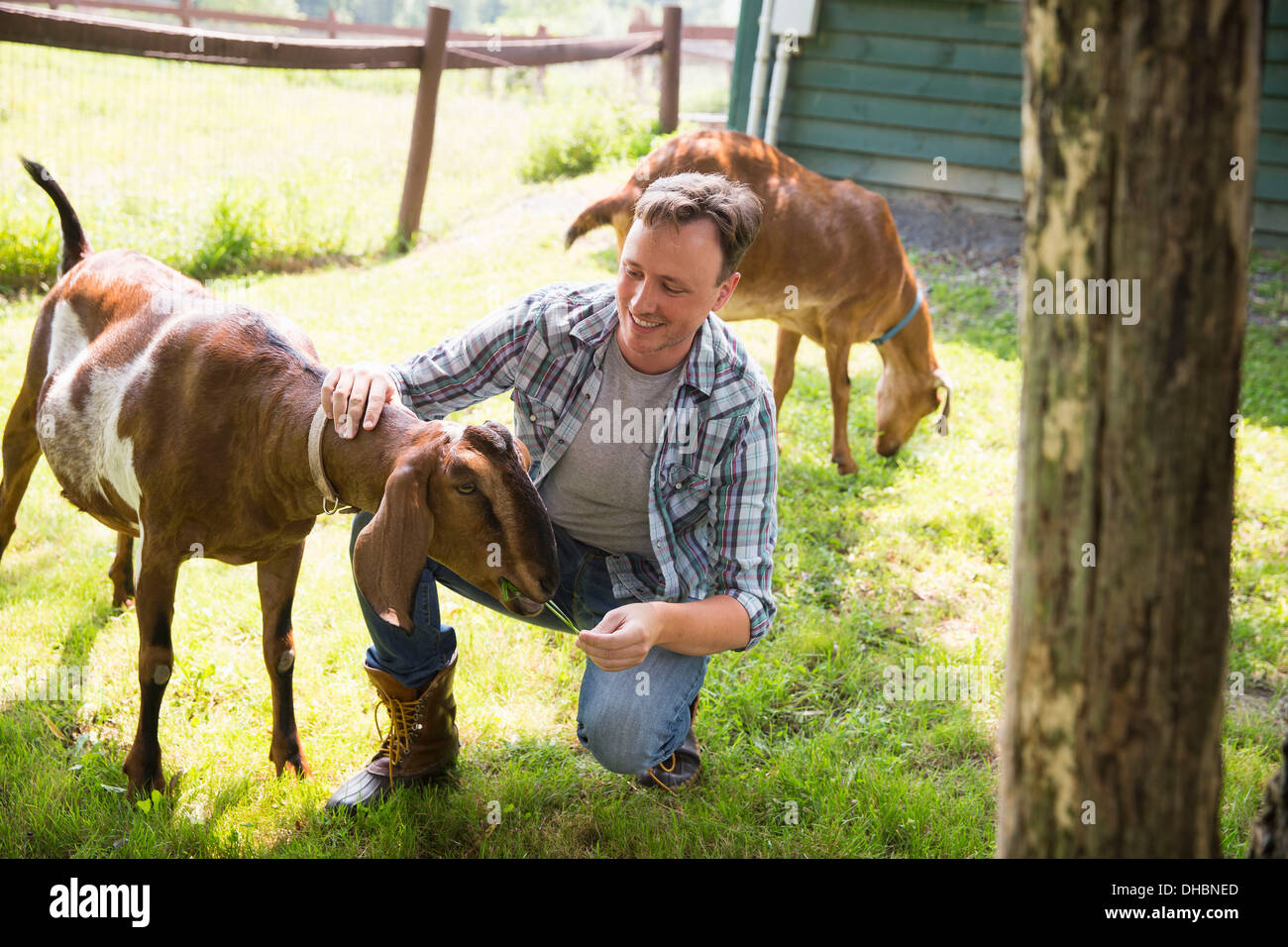 An organic farm in the Catskills. A man in a paddock with two large goats. - Stock Image