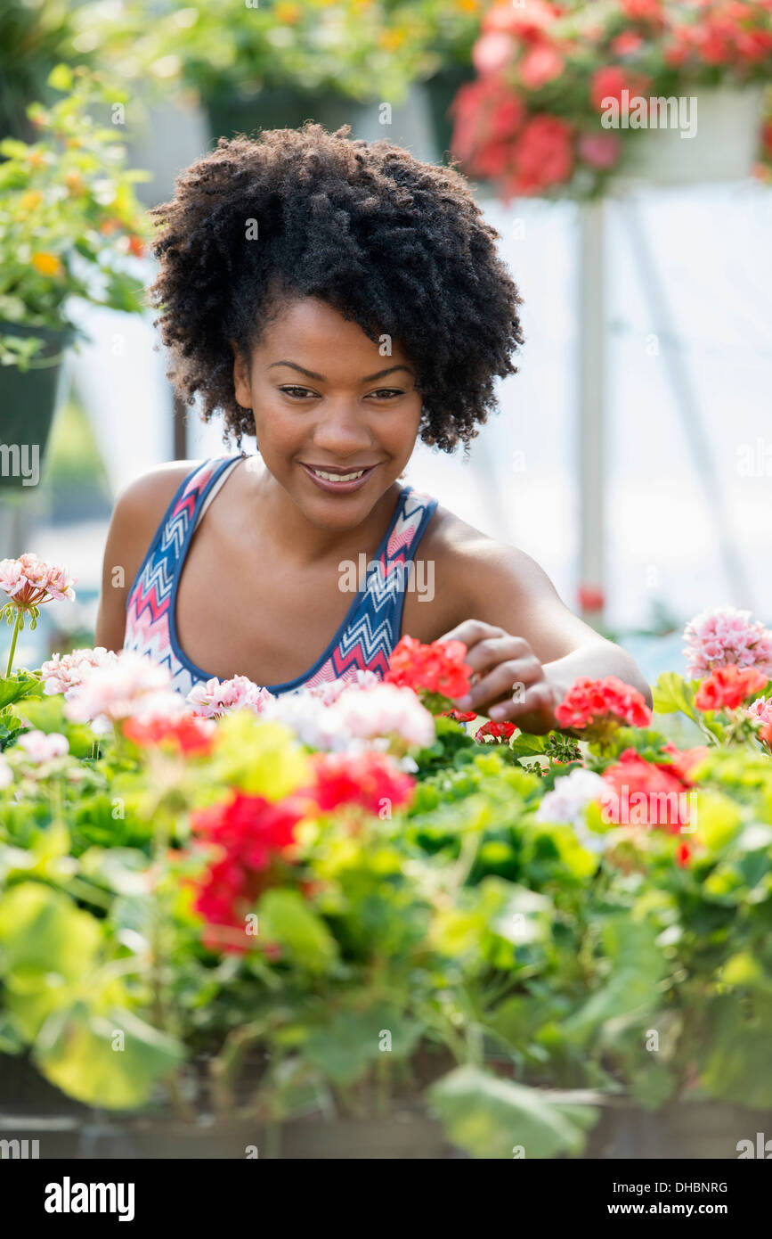 A woman working amongst flowering plants. Red and white geraniums on a workbench. - Stock Image