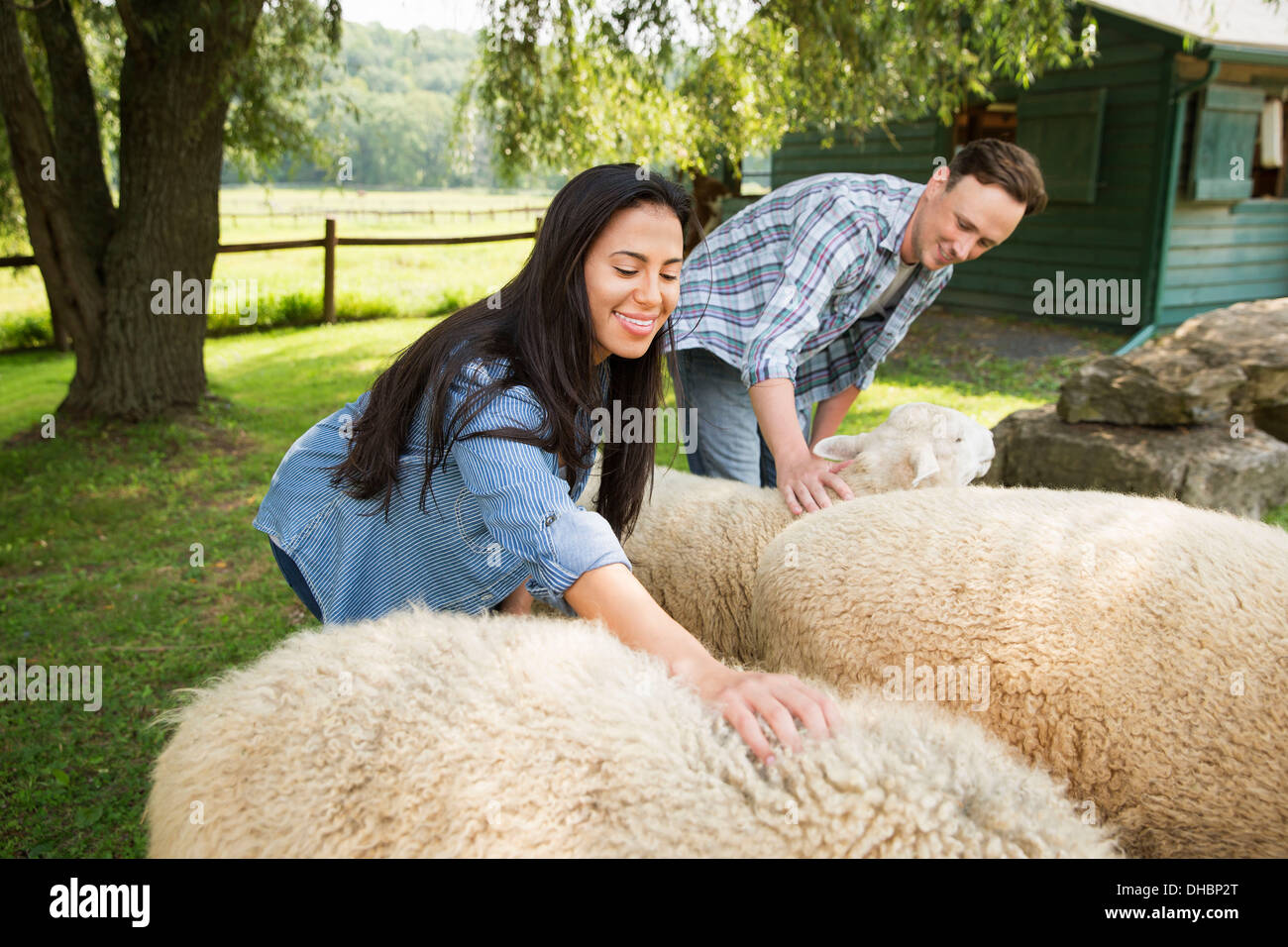 An organic farm in the Catskills. Two people in a paddock with two large sheep. Stock Photo