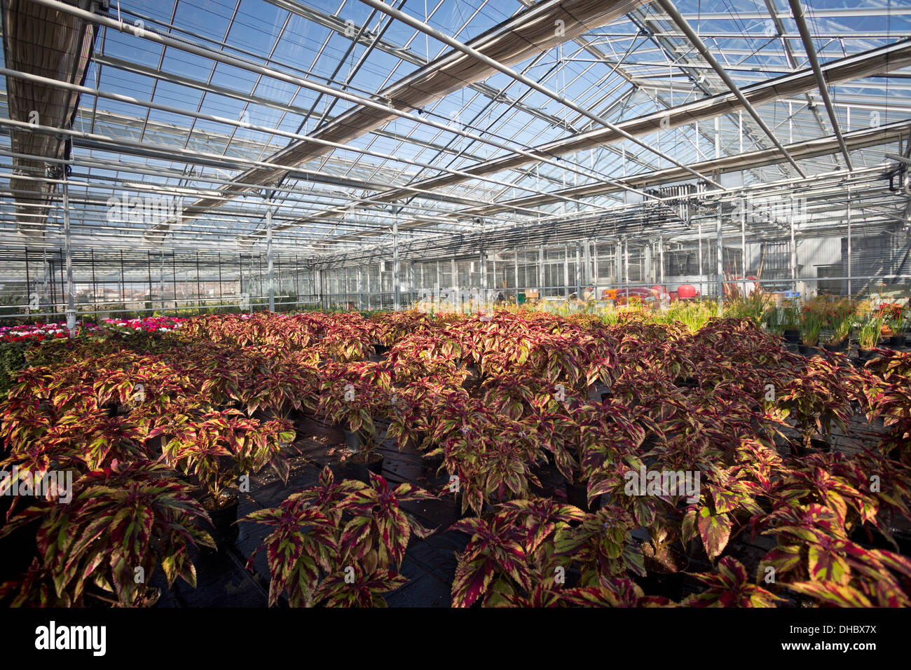 A Combat Coleus plant cultivation (Solenostemon scutellarioides), in the Vichy horticultural production Centre. Stock Photo