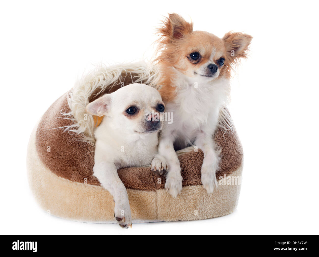 chihuahuas in dog bed in front of white background - Stock Image