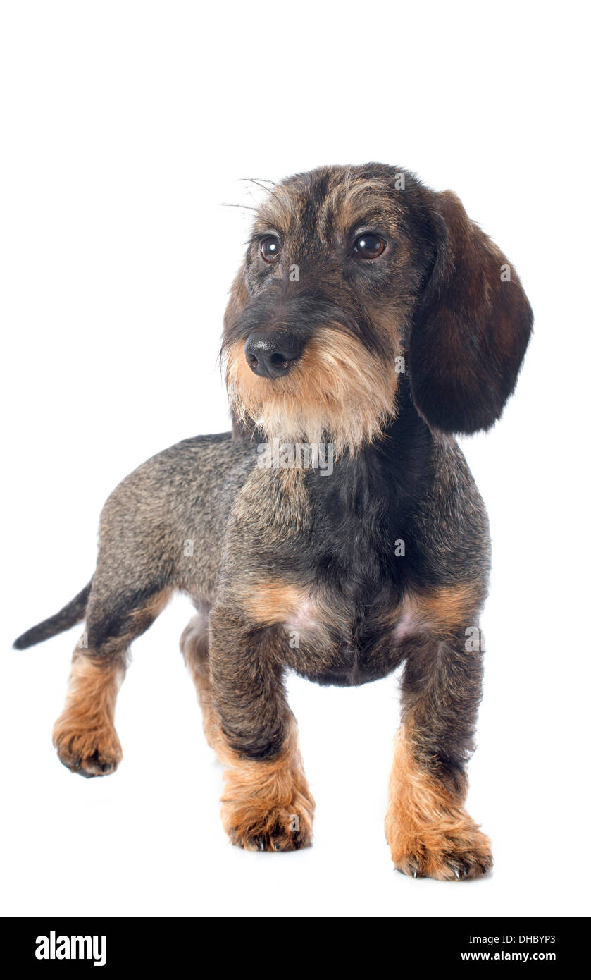 White Wirehaired Dachshund Wire Center Plant Cell Anatomy Stock Vector Image 43912193 Puppy Haired In Front Of Background Photo Rh Alamy Com Dapple