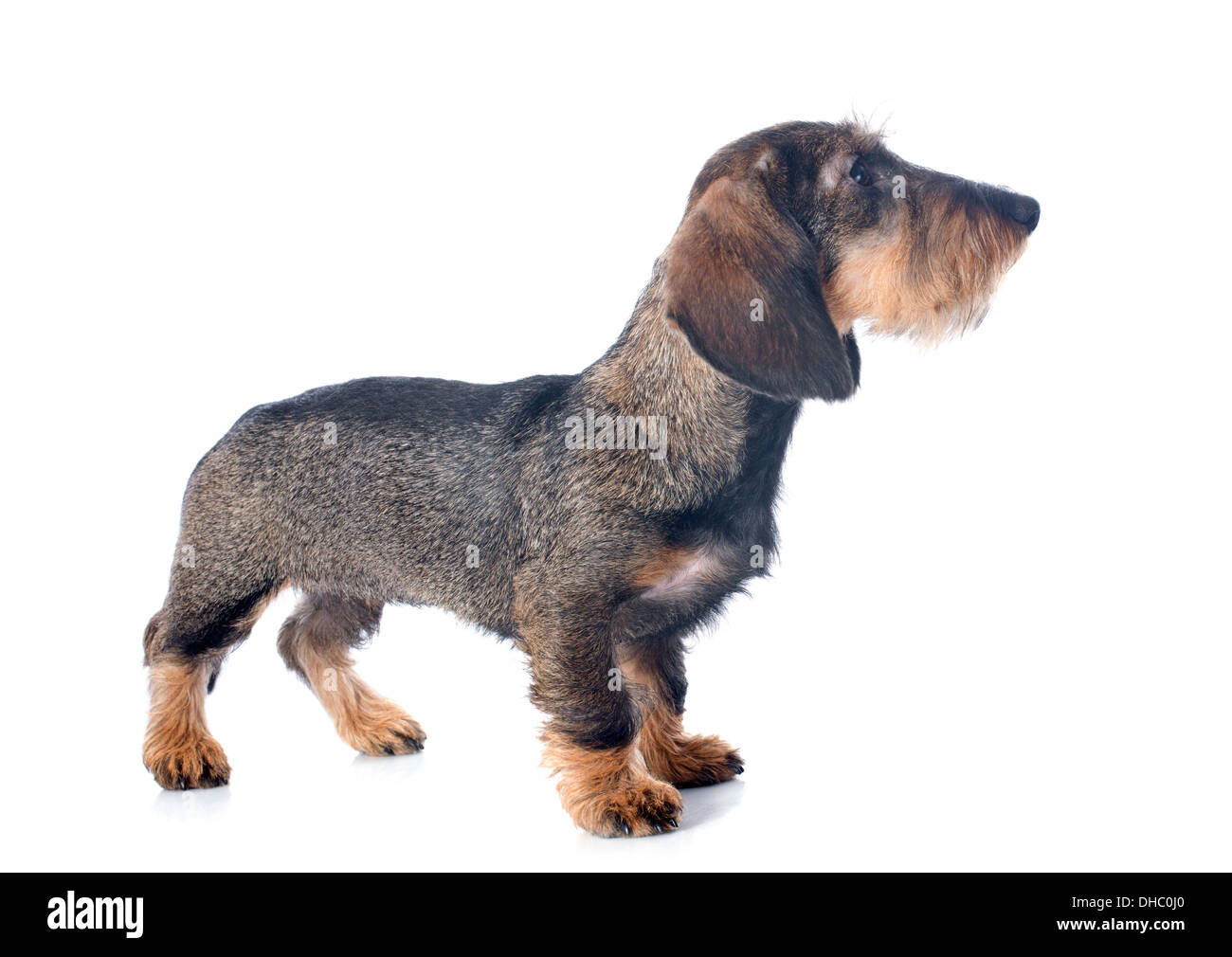 Brown Wire Haired Dachshund Stock Photos & Brown Wire Haired ...