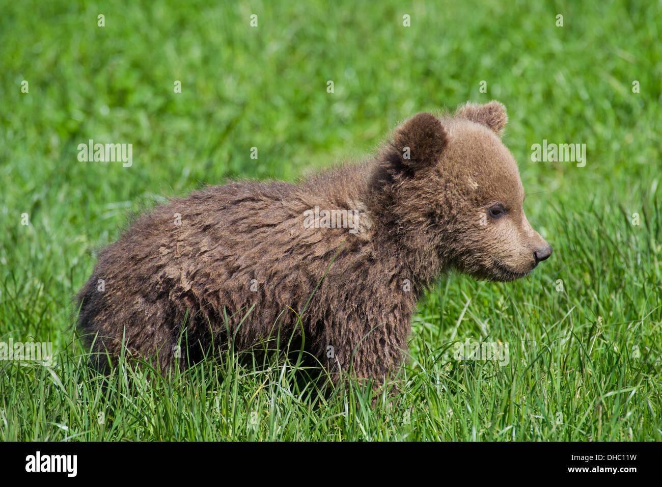 Eurasian brown bear (Ursus arctos arctos) cub in grassland - Stock Image
