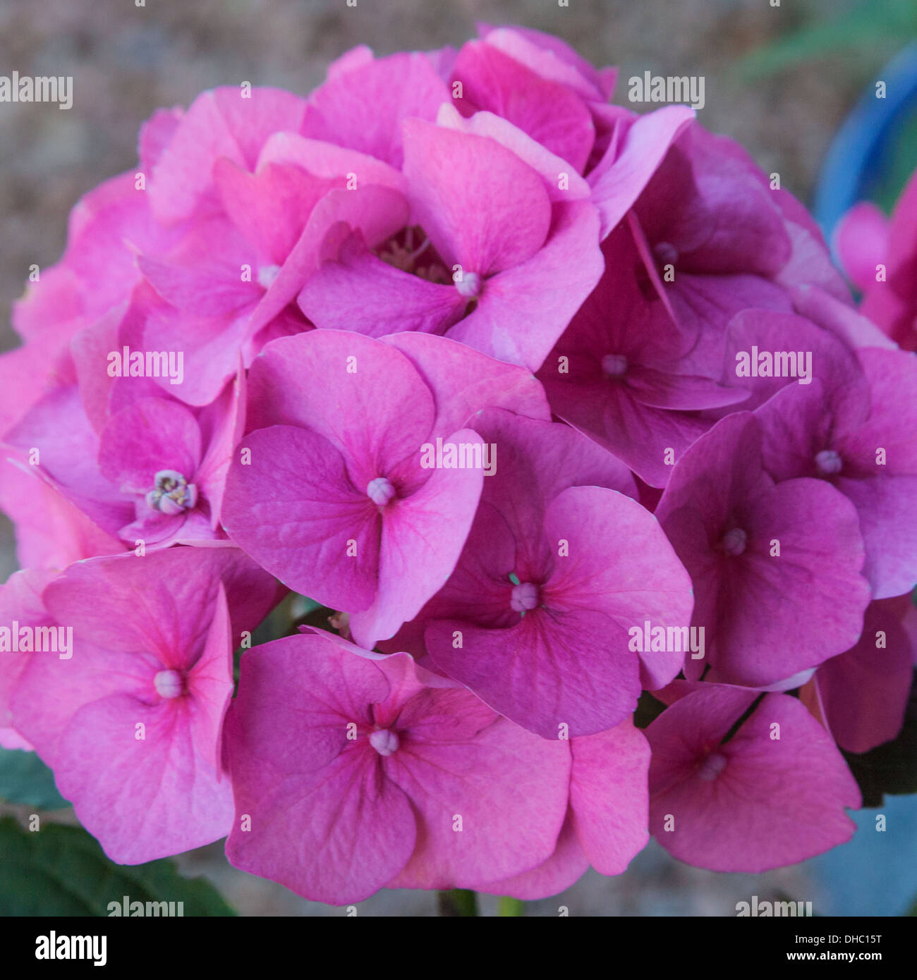 The Color Of The Hydrangea Flower Is Affected By Soil Ph Stock