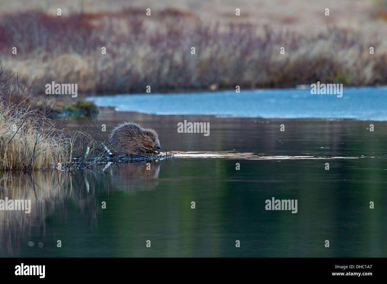 Eurasian beaver / European beaver (Castor fiber) sitting on lake shore while gnawing on twig, Sweden, Scandinavia Stock Photo