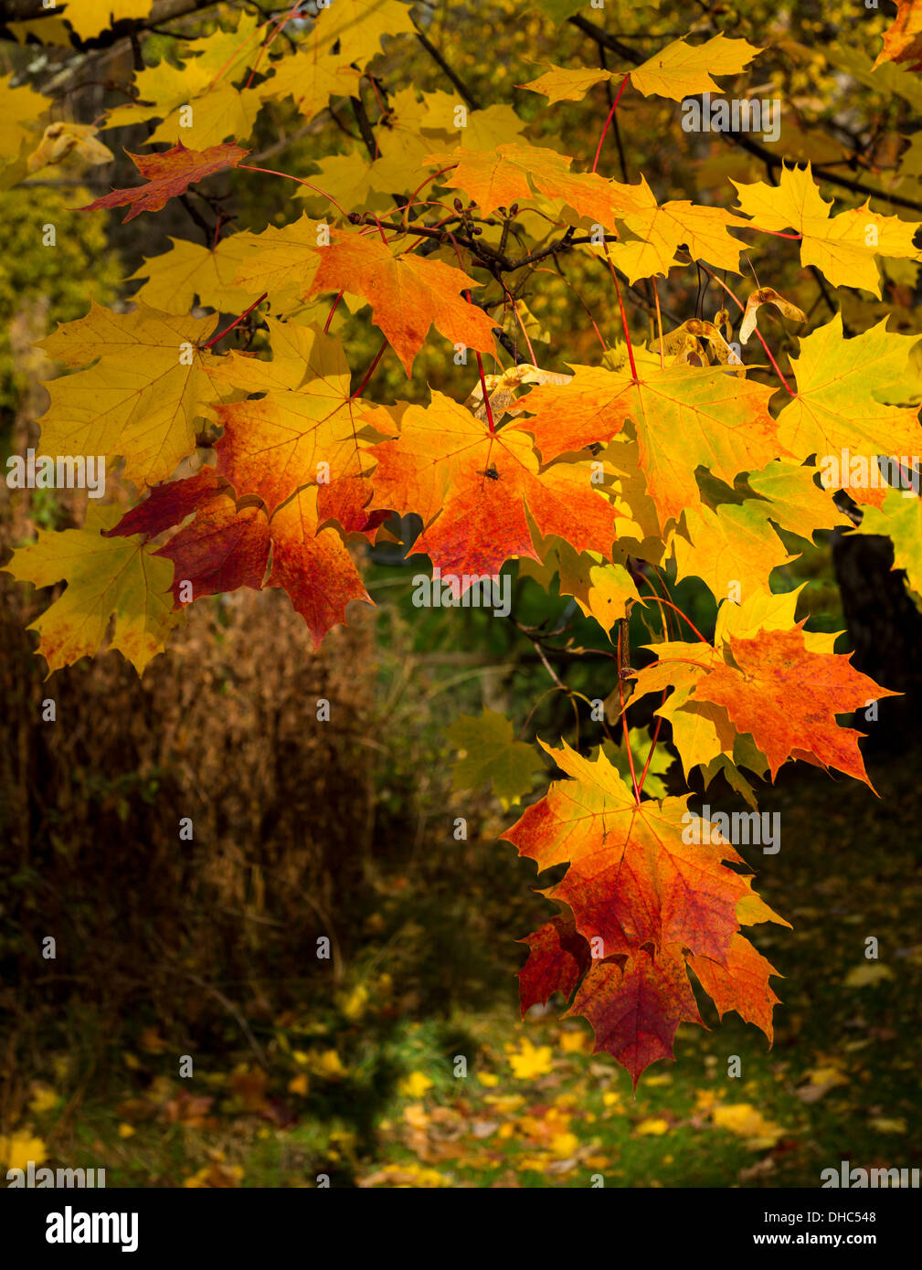 MAPLE [ACER] LEAVES AND SEEDS IN VIBRANT AUTUMNAL COLOURS Stock Photo