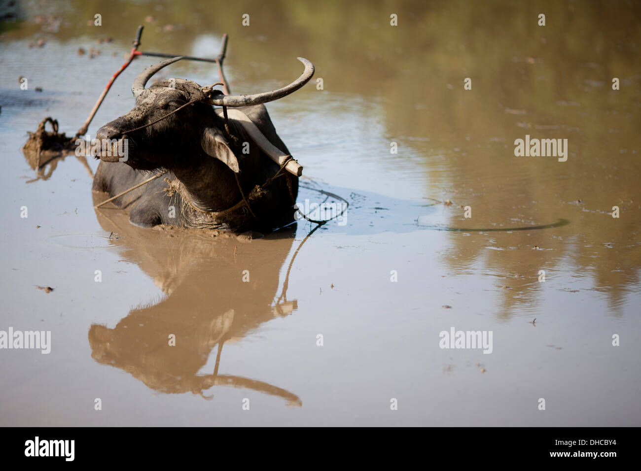 A carabao rests during a break period while working to level a rice field near Mansalay, Oriental Mindoro, Philippines. Stock Photo