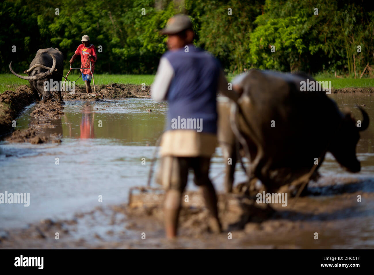 Filipino farmers drive carabaos while working to level a rice field near Mansalay, Oriental Mindoro, Philippines. Stock Photo