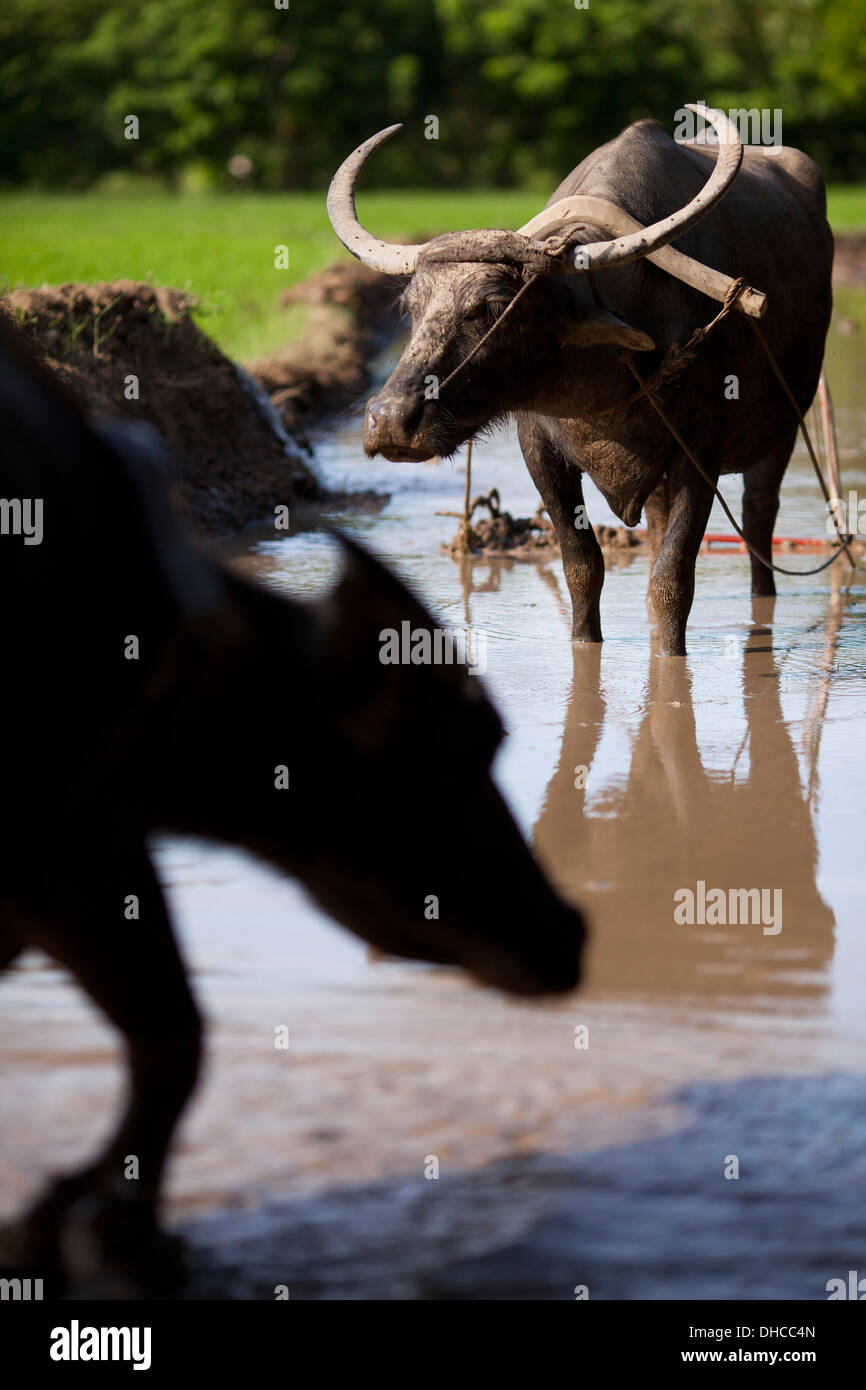 Carabaos are given a rest period while working to level a rice field near Mansalay, Oriental Mindoro, Philippines. Stock Photo