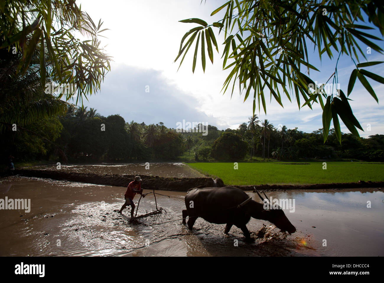 A Filipino farmer drives a carabao while working to level a rice field near Mansalay, Oriental Mindoro, Philippines. Stock Photo
