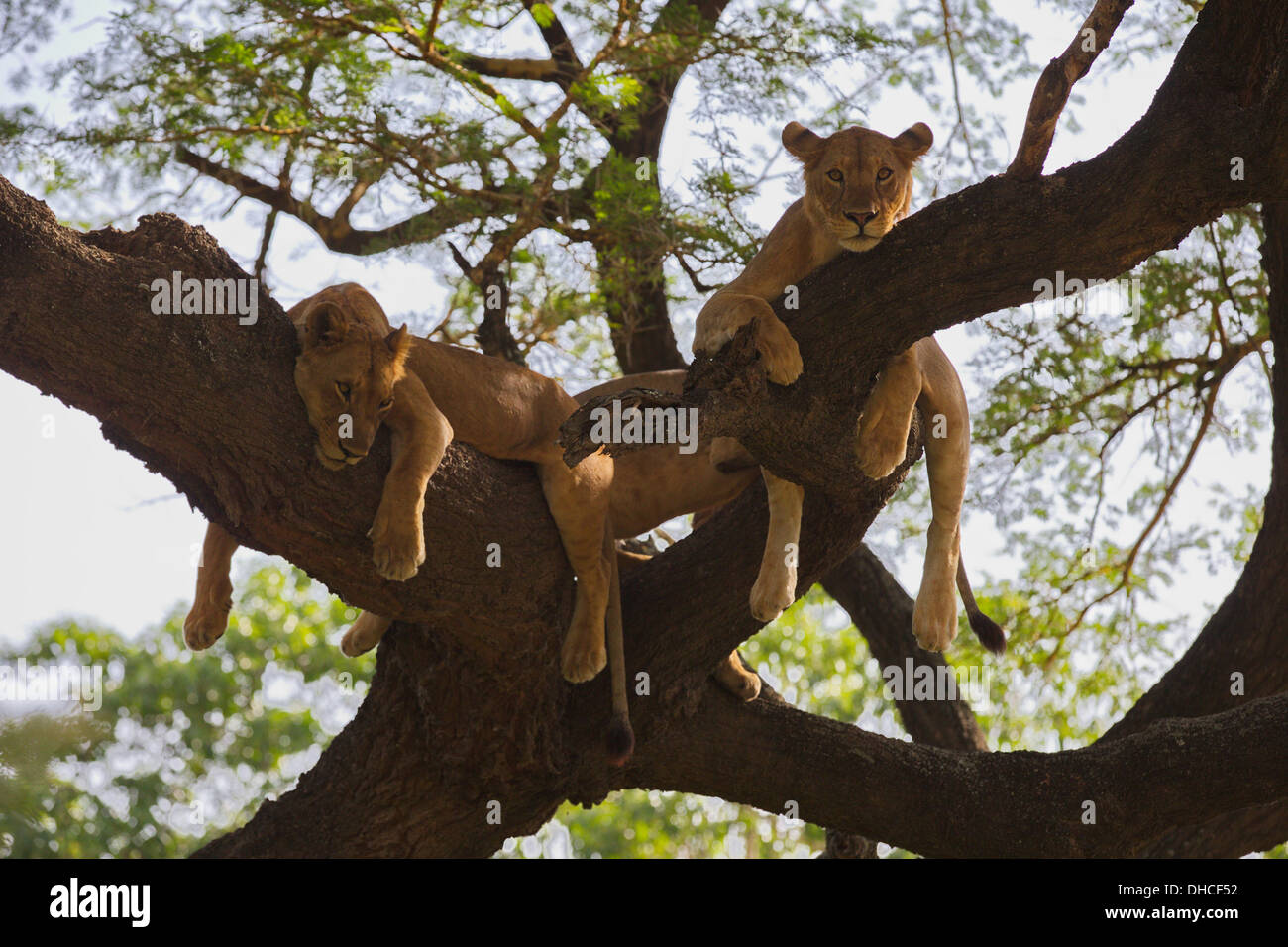 African Lion resting in tree. Lake Manyara National Park. Panthera leo. Tanzania, Africa. King of the Jungle. Mane. Pride. - Stock Image