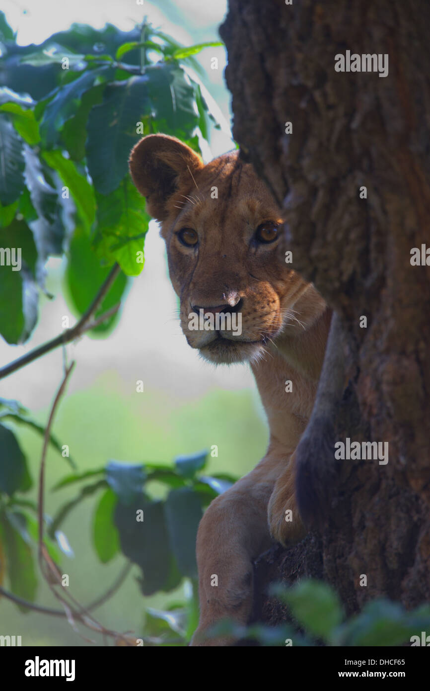 African Lion resting in tree. Lake Manyara National Park. Panthera leo. Tanzania, Africa. King of the Jungle. Mane. Stock Photo