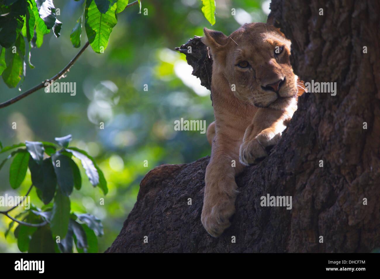 African Lion resting in tree. Lake Manyara National Park. Panthera leo. Tanzania, Africa. King of the Jungle. Mane. Pride. - Stock Image