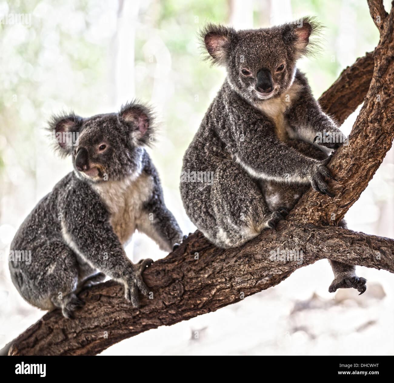 A Koala bear sitting in a tree in Australia - Stock Image
