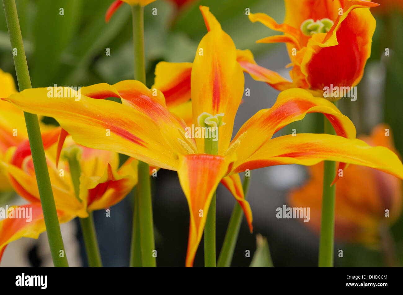 Tulip Fly Away - Stock Image