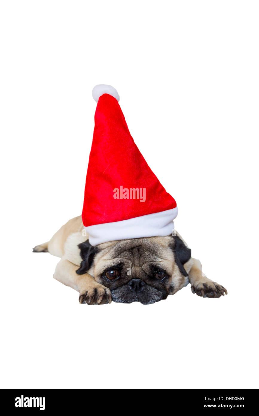 Sad Beige Pug Wearing Christmas Hat - Stock Image