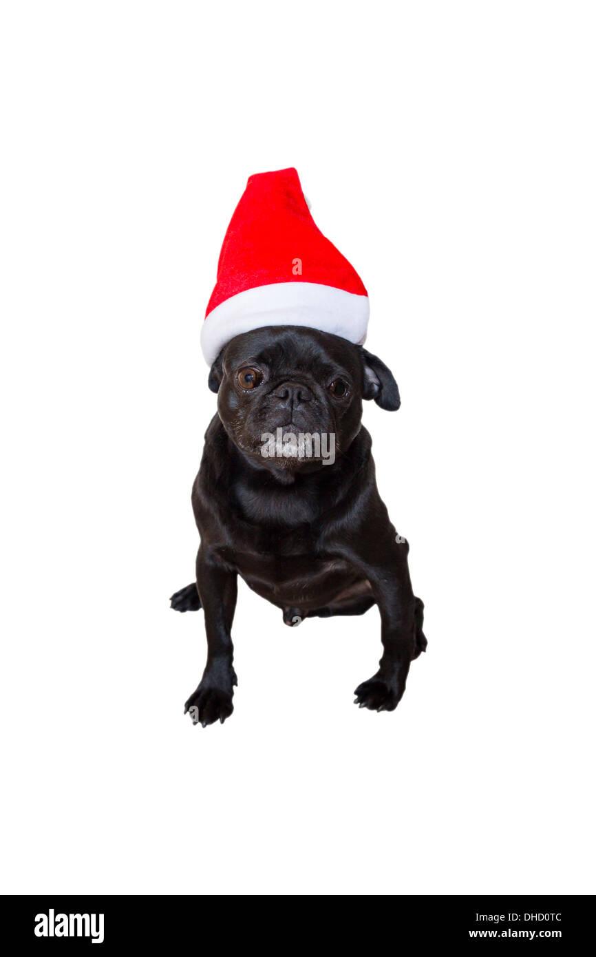 Sad Looking Black Pug Wearing Christmas Hat - Stock Image