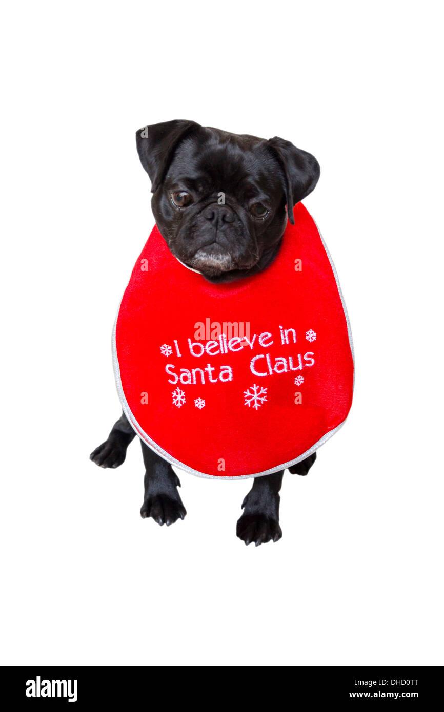 Black Pug Wearing Christmas Bib - Stock Image