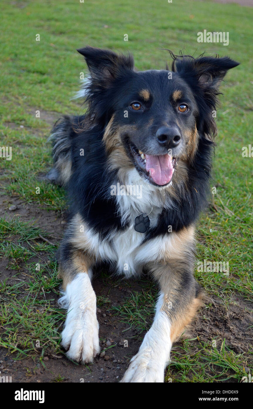 Black & Tan dog with White chest - Stock Image
