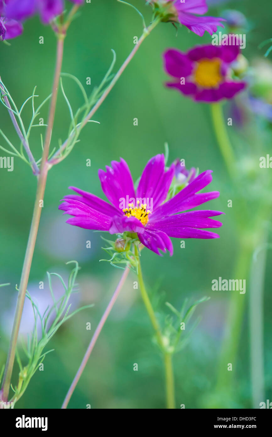 summer flowers on meadow - Stock Image