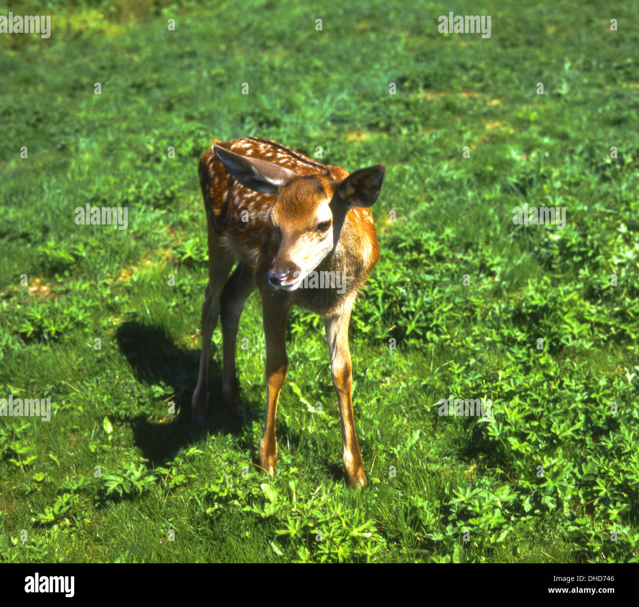 Red deer calf on a greenfield - Stock Image