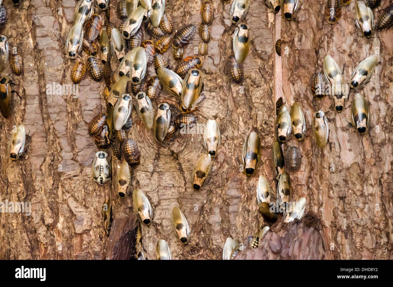 Cockroaches on tree bark - Stock Image