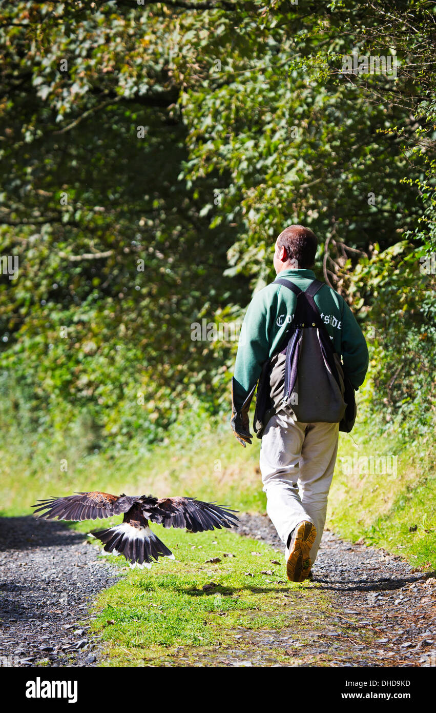 A Falconer training Harris hawk in the westcountry UK Stock Photo