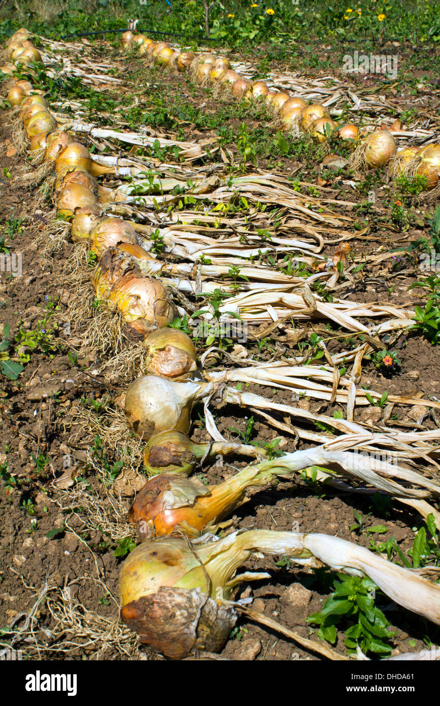 Rows of allotment grown onions drying in the sun - Stock Image