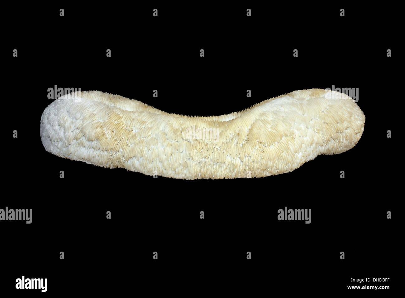 Atlantic Mushroom Coral (a.k.a. Tongue Coral) Herpolitha limax - Stock Image