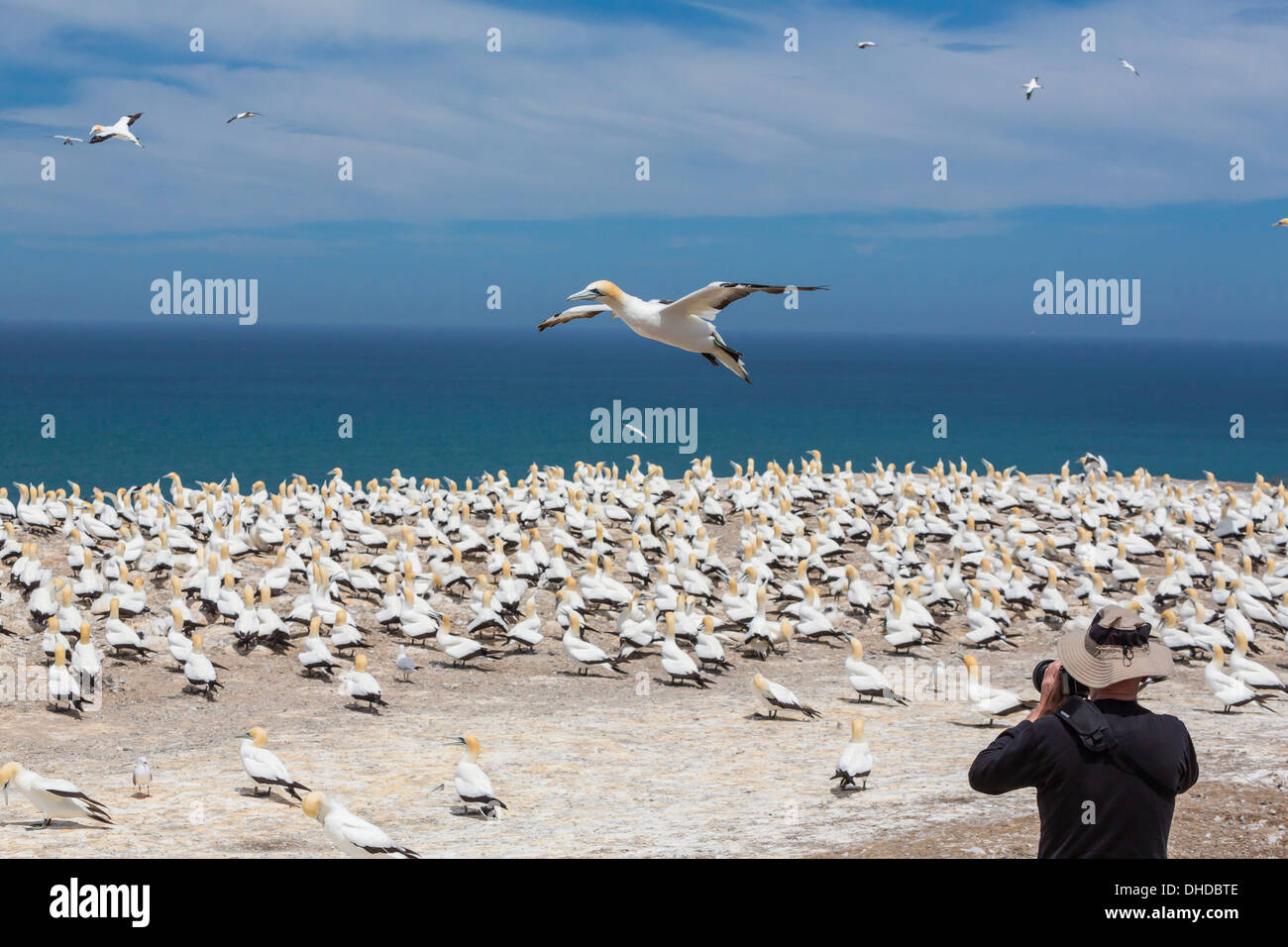 Australasian gannet (Morus serrator), breeding colony at Cape Kidnappers, North Island, New Zealand, Pacific - Stock Image