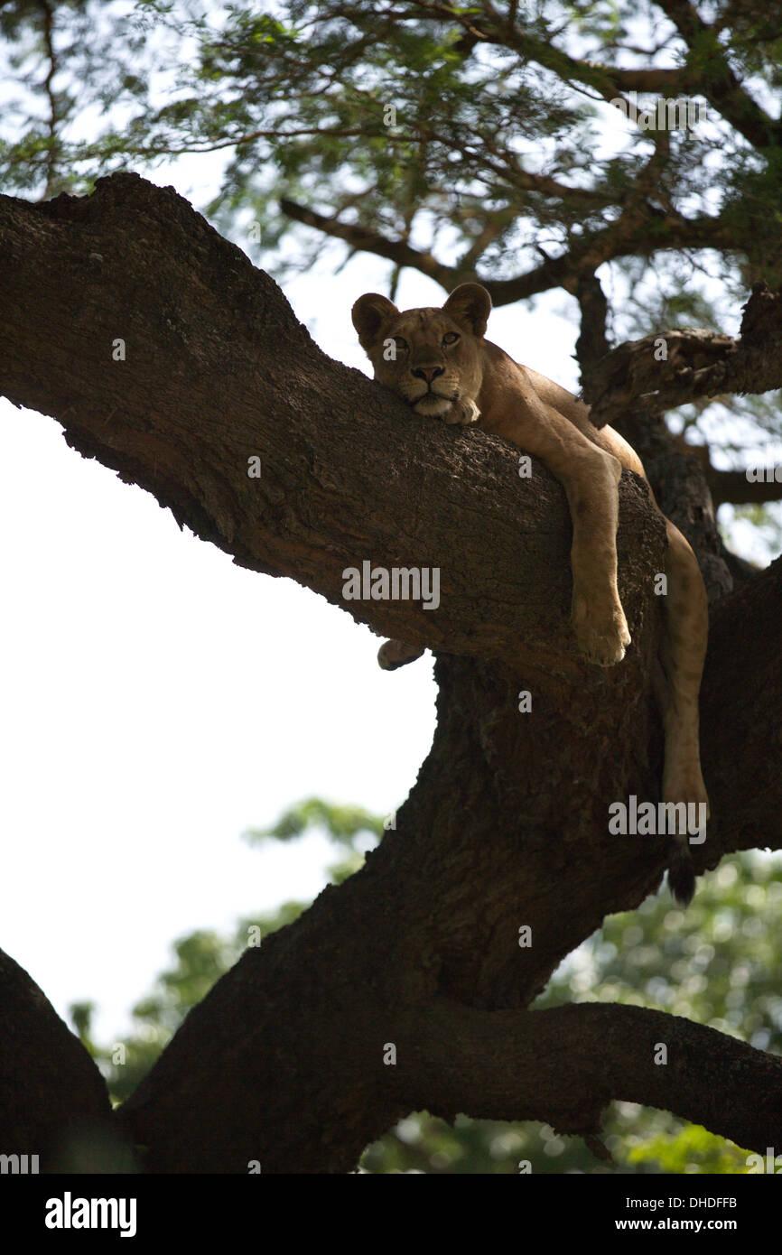 African Lion resting in tree. Lake Manyara National Park. - Stock Image