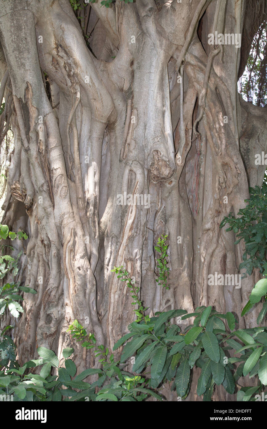 Close up of giant fig tree trunk. Lake Manyara Tanzania. Africa. - Stock Image