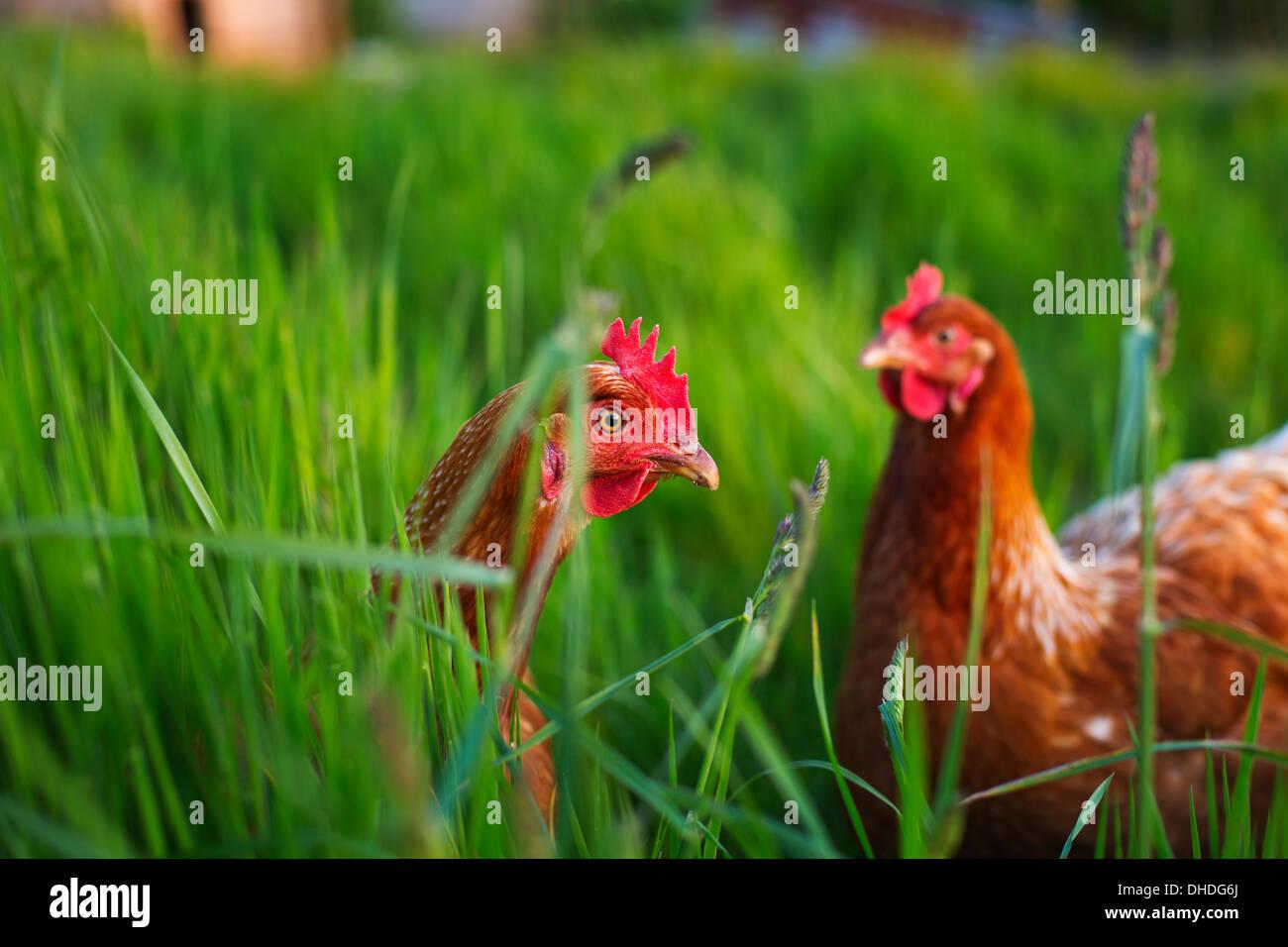 Free Range Hens - Stock Image