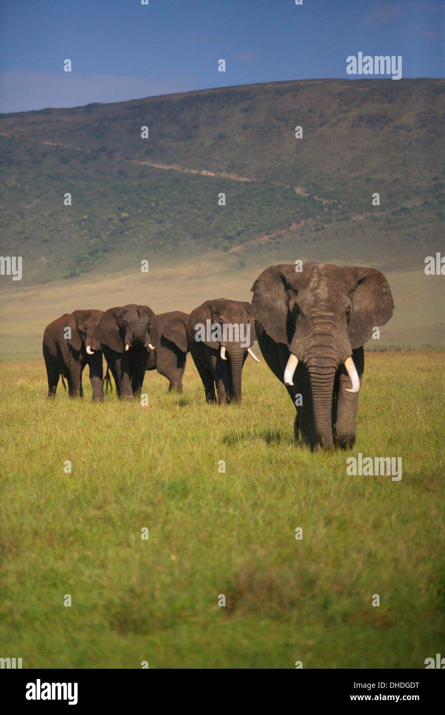 African Elephants grazing in the Ngorongoro Crater. Tanzania Africa. Loxodonta africana spp. Large Tusk Tuskers Poaching. - Stock Image